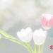 pastel-tulips